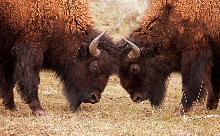 Свойства и отличия кожи буйвола и бизона